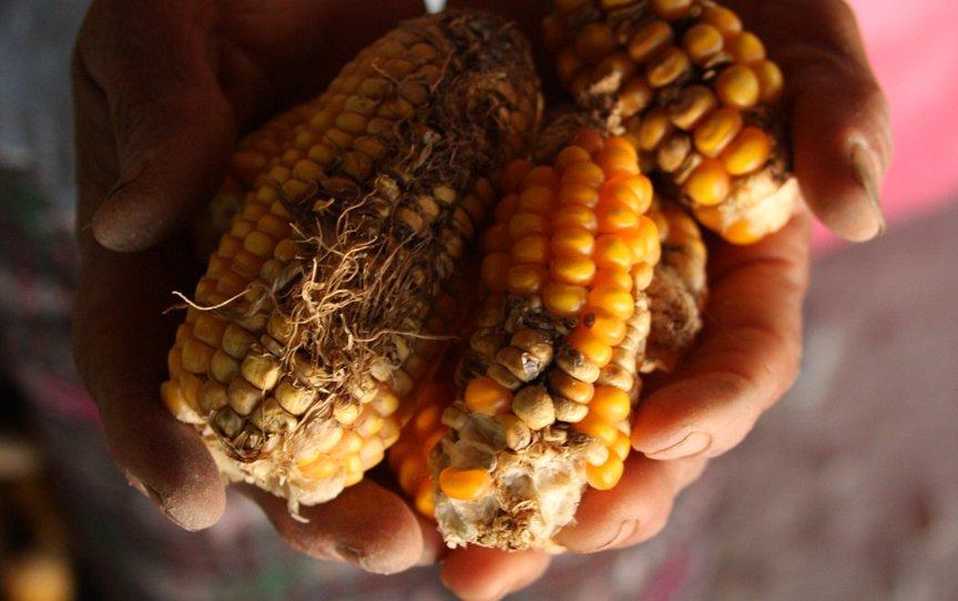 Guate corn