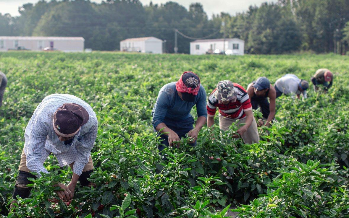 workers harvesting chilies in field_edit.jpg
