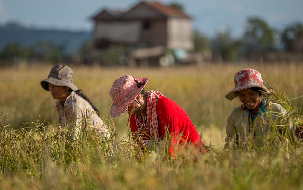 Women harvest rice Cambodia IMG_7281 web.jpg