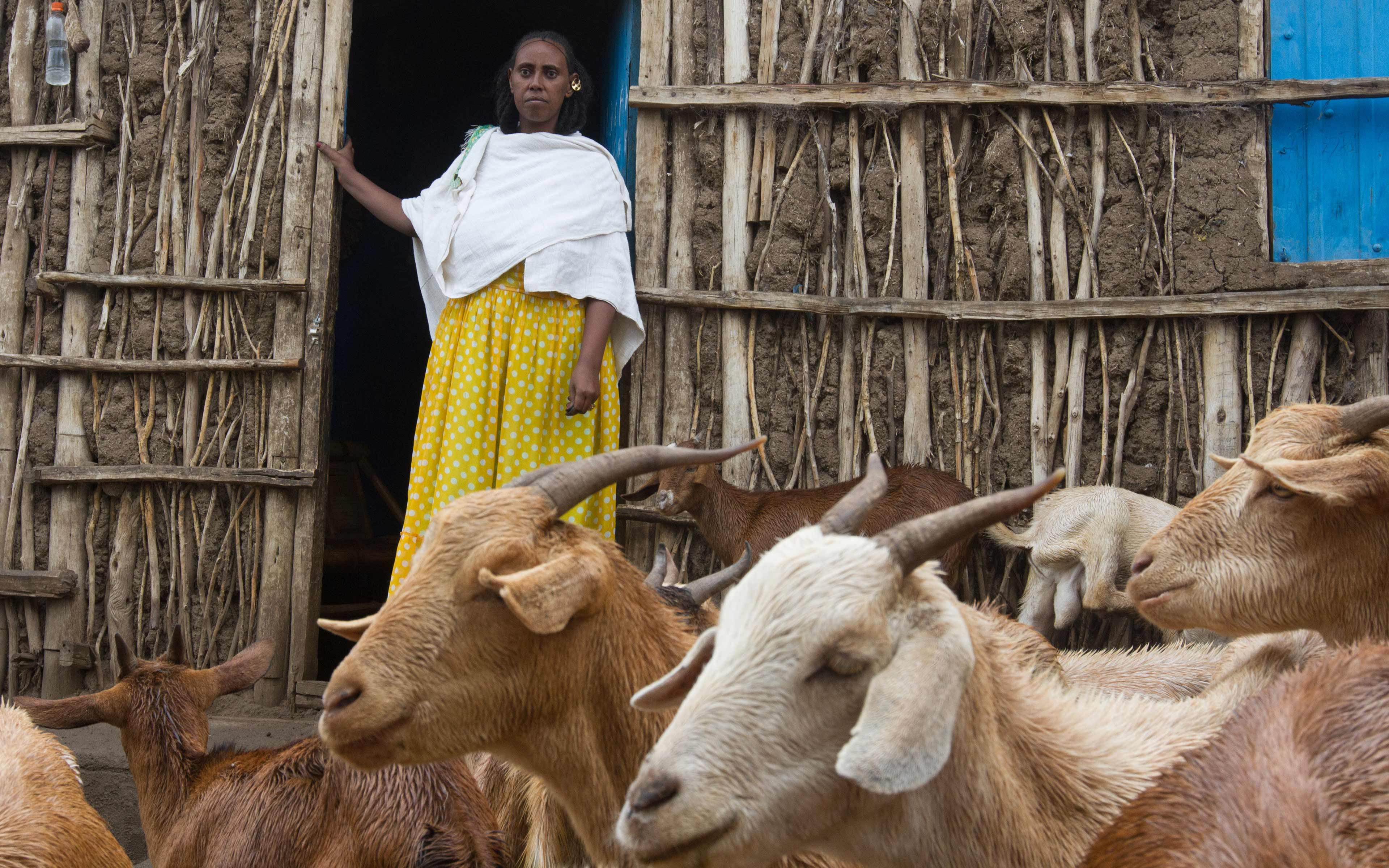 From the door of her house in the Tigray region of Ethiopia, Askal Teklay keeps an eye on the goats she is raising with the help of a loan she received through a rural resilience initiative known as R4. As the goats breed, she is able to sell them and use the money to support her family during a time of drought.