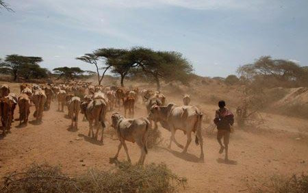 ethiopian-herder-and-cattle.jpg