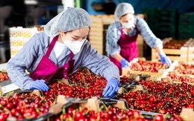 women sorting cherries