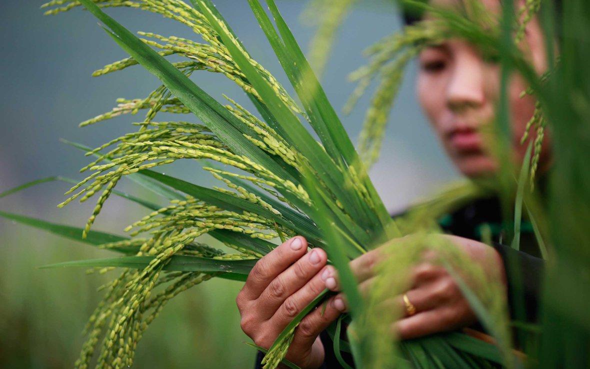 sri-rice-vietnam-ous-32877.jpg