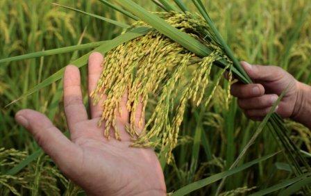 vietnam-9-10-rice-plants.jpg